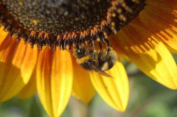 Sonnenblume-Hummel